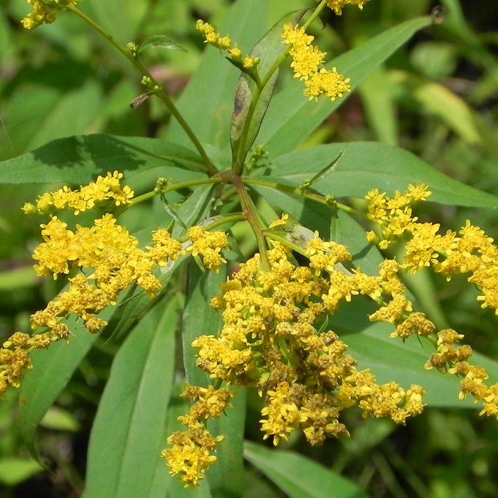 GOLDENROD EARLY