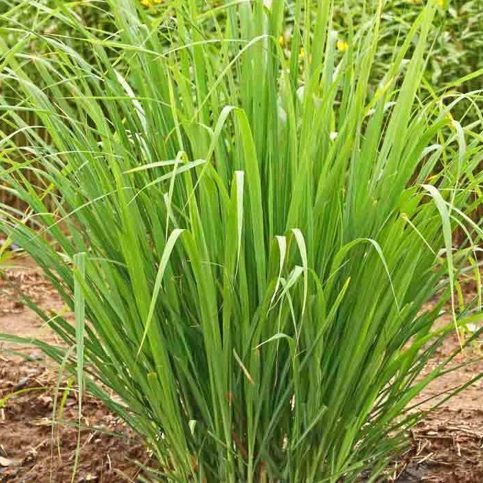 LEMONGRASS, EAST INDIAN